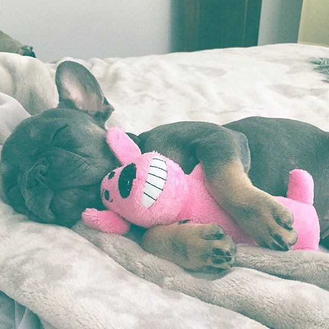 Sleepy Sophie 💗 She is a Blue-Tri Frenchie and Dash's sister 😍 _claudenemarie _eatmorepasta