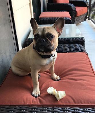 Houston Texas French Bulldog Frenchie Puppy For Sale Austin San Antonio Dallas Creme Blue Fawn Red Lilac Chicago New York Los Angles Miami