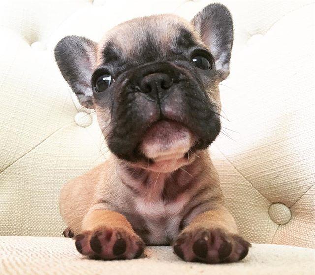 aaawww _chris_danielle ❤️ #newfrenchiemom #puppylove