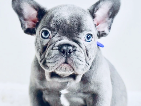 Why you Should Register your French Bulldog