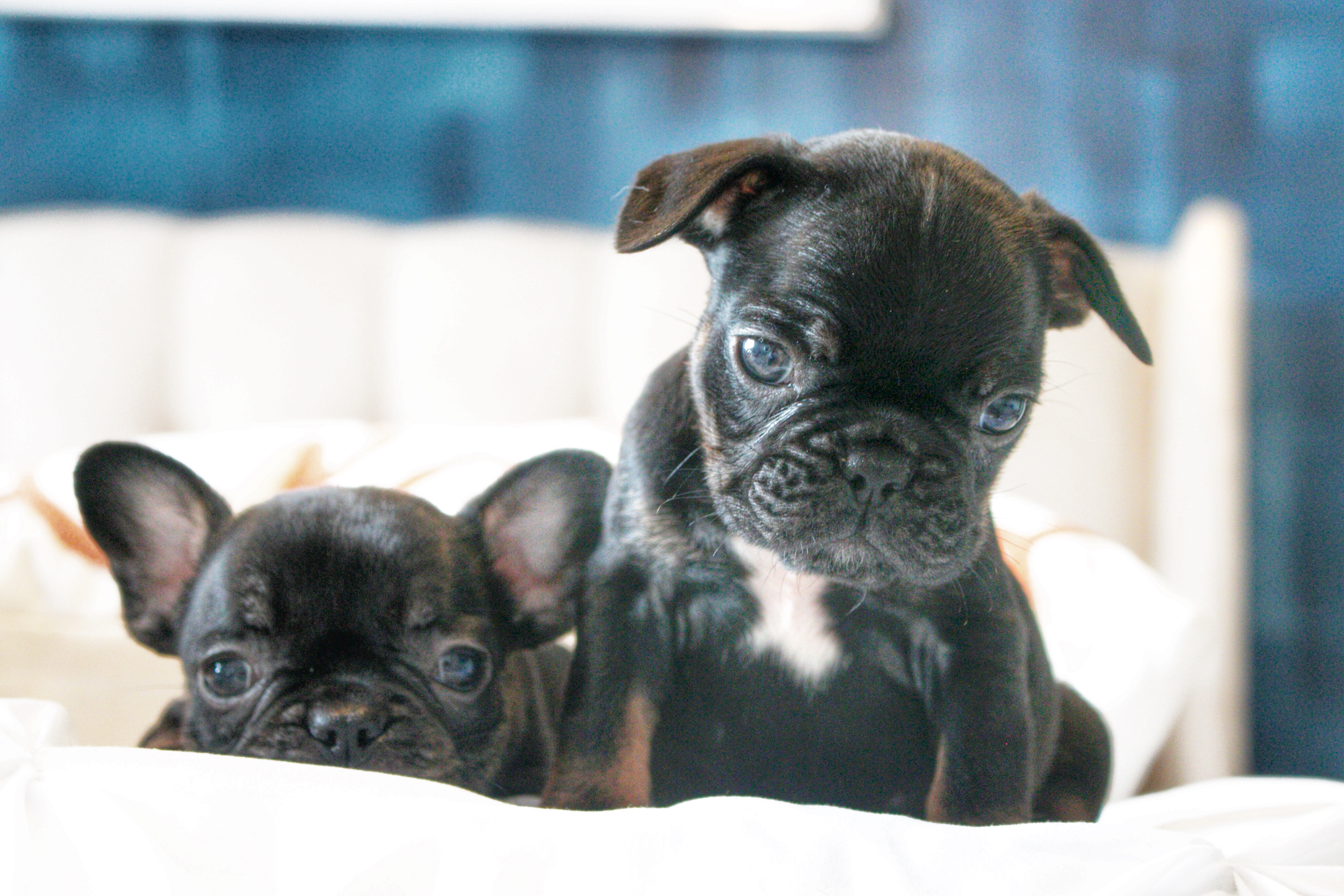 French bulldog frenchies puppies