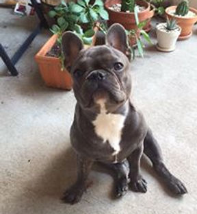 Houston Texas French Bulldog Frenchie Puppy For Sale Austin San Antonio Dallas Creme Blue Fawn Red Lilac Chicago New York Los Angles Miami