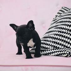 Black Micro French Bulldog