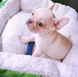 Latté was so cute 😍 #LatteTheFrenchie