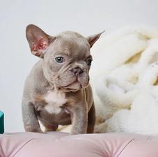 Isabella Lilac Micro French Bulldog