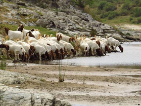 Boer Goats crossing the river