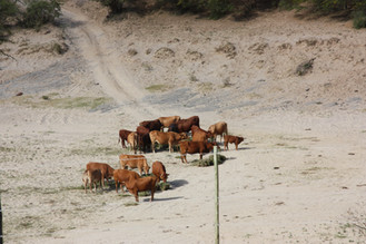Cattle roaming around on the farm