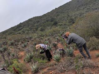 Harvesting of Aloe Ferox
