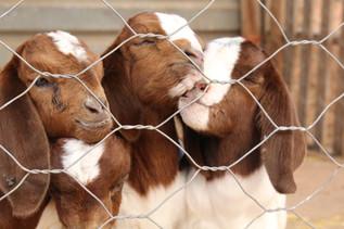 Boer Goats on the farm