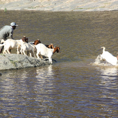 Goats crossing the Gourits River