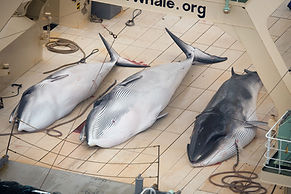 Dead Minke Whales on the Nisshin Maru De