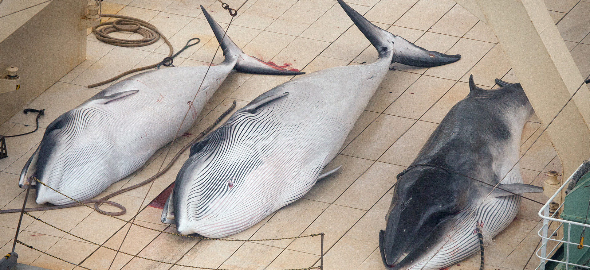 Dead Minke Whales on the Nisshin Maru De