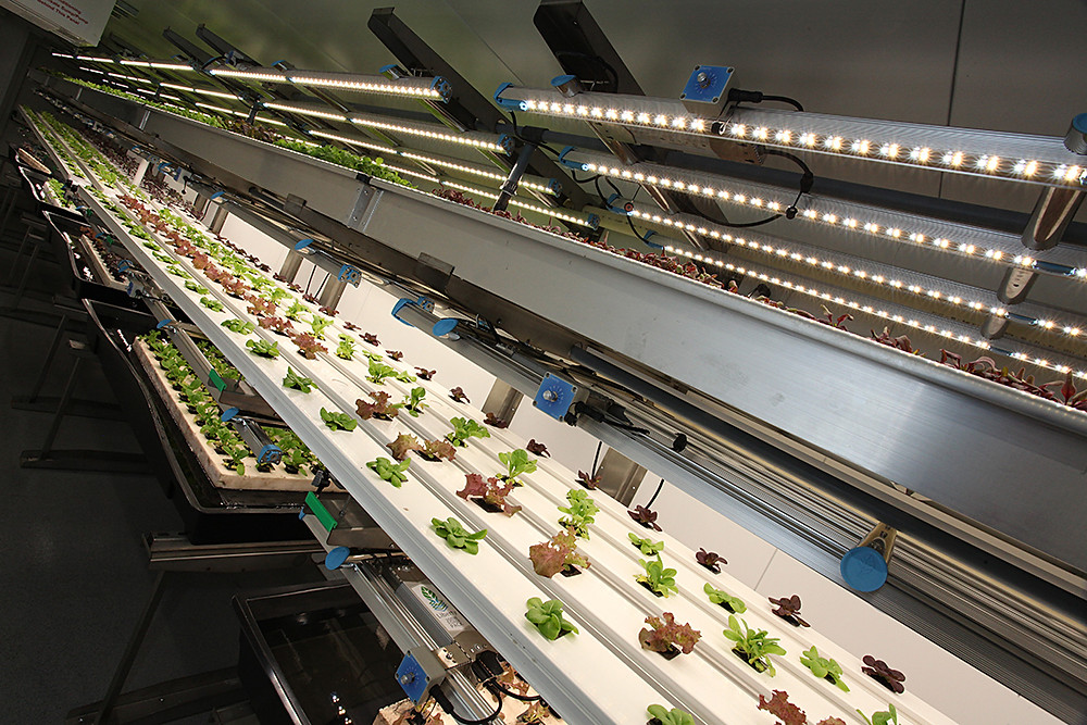 Crops growing in a vertical farm