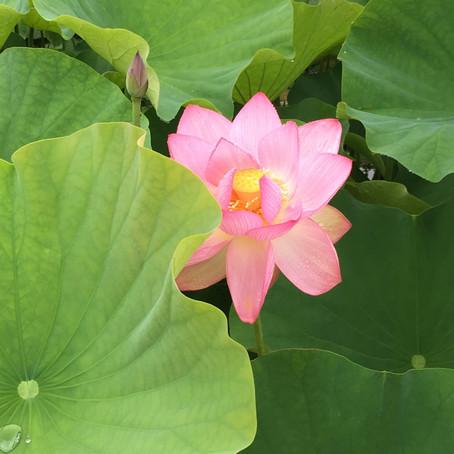 臼杵石仏の蓮の花