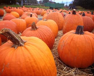 Plentiful Pumpkins at Crossroads!