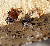Bed Bug and It's Eggs
