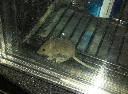 House mouse inside cooler.jpg