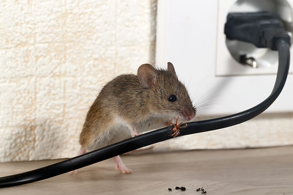 Closeup mouse gnaws wire  in an apartmen