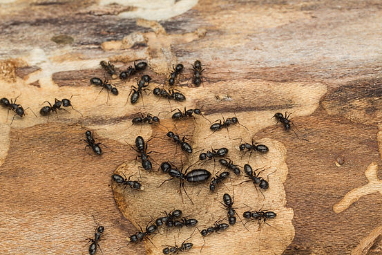 Ant colony disperses after discovery und