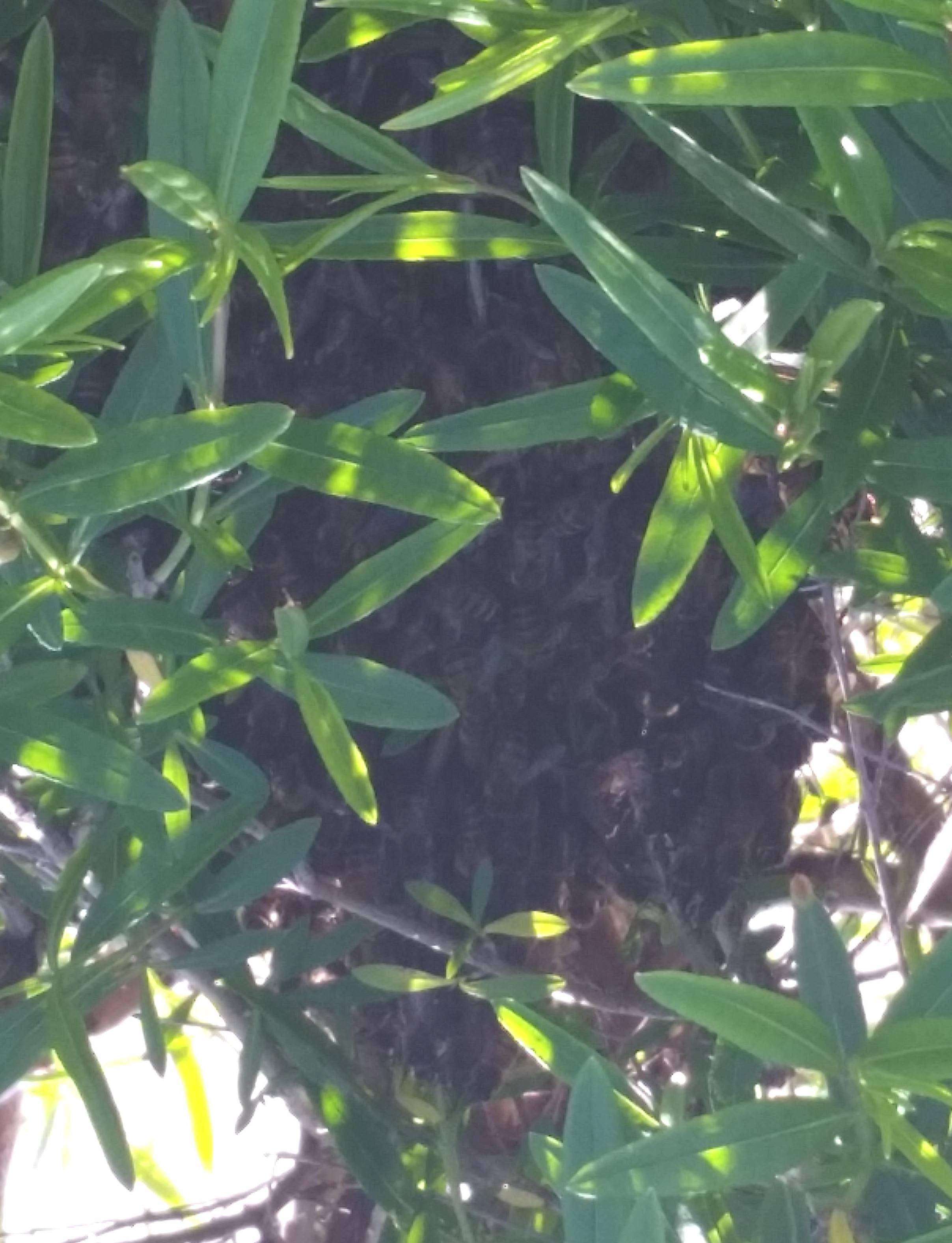 Honey Bee Swarm in a bush.