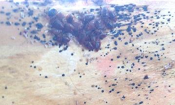 Bed Bug cluster on a bed frame.