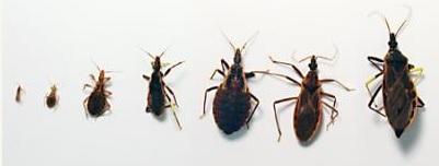 Triatomine Bug / Kissing Bug