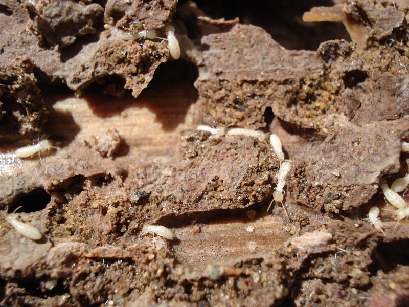 Termite workers.