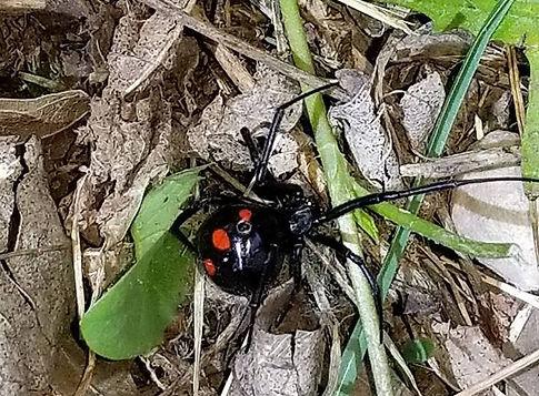 Northern Black Widow Spider.jpg