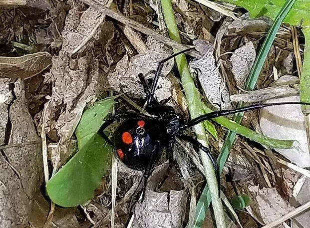 Northern Black Widow Spider.jpg