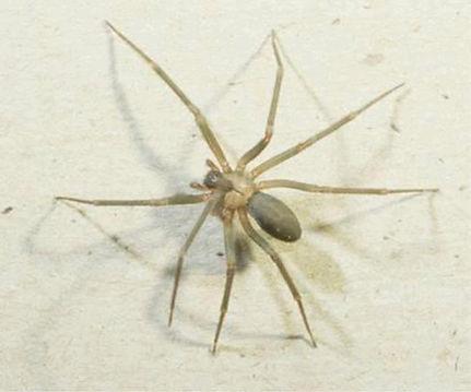 Brown Recluse Spider_