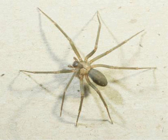Brown Recluse Spider_