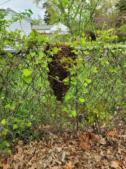 Bee Swarm  April 2021