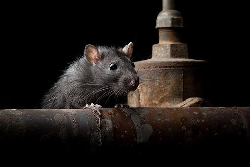 wild rat.jpg