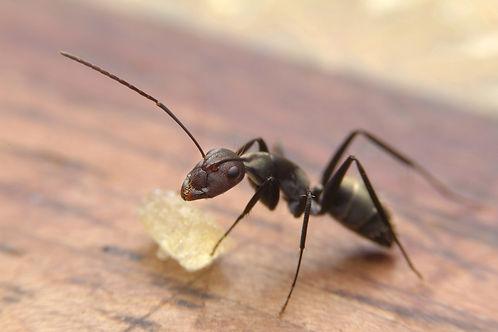 Black ants eating sugar on table.jpg