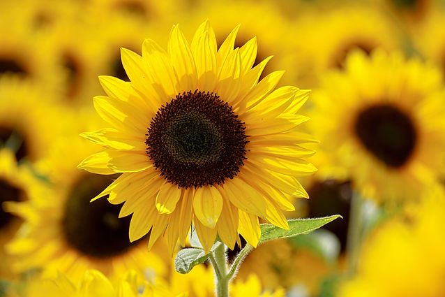 shallow-focus-photography-of-yellow-sunf