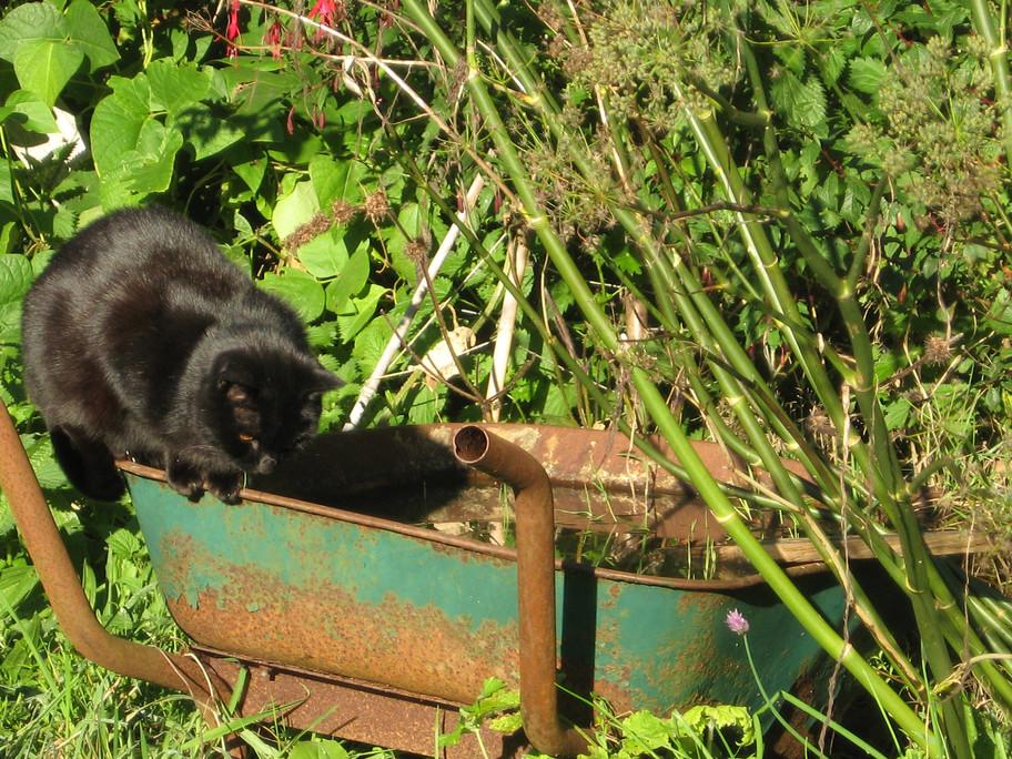 Cat on wheelbarrow pond