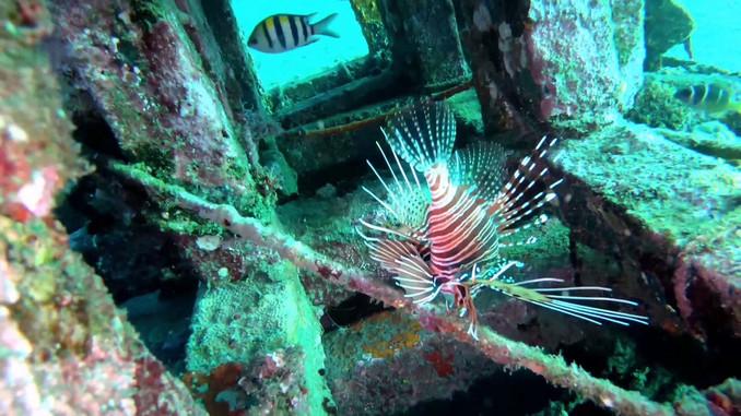 Bali, Amed: Jemeluk Bay marine wildlife filmed on breath hold