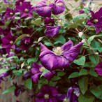 beautiful-clematis_21687881145_o.jpg