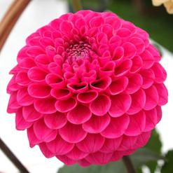 simply-pink_15131190432_o.jpg
