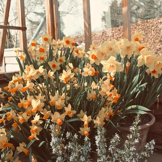huge-bunch-of-daffodils_19311118501_o.jp