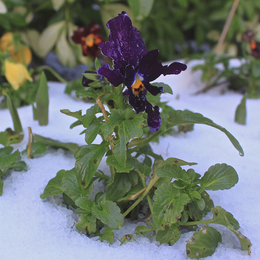 growing-in-the-snow_15969758084_o.jpg