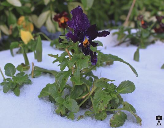 growing-in-the-snow_15969758084_o.jpg