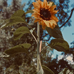 sunflower-show_21011515024_o.jpg