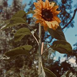 sunflower-show_21011515024_o.jpg
