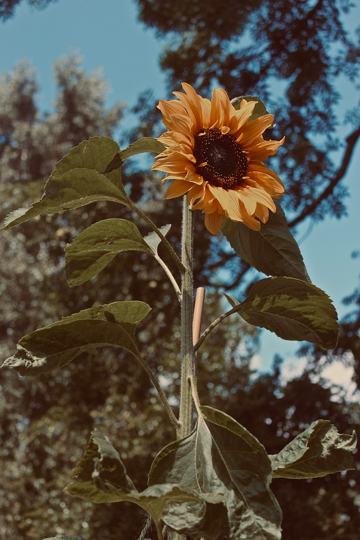 Sunflower Sun!