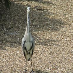 heron-in-st-jamess-park_9511066862_o.jpg
