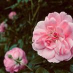 beautiful-pink-blossom_21066814228_o.jpg