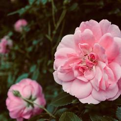 beautiful-pink-blossom_21066814228_o.jpg
