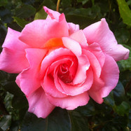 unblemished-rose_9775153562_o.jpg