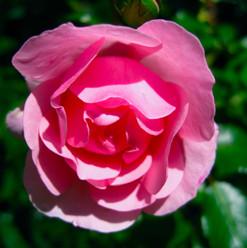 rose_8446009174_o.jpg